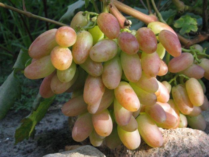 Как получить саженец винограда