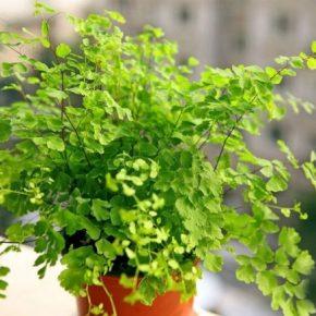 Адиантум – особенности полива и выращивания растения в домашних условиях. 160 фото разных видов комнатного растения