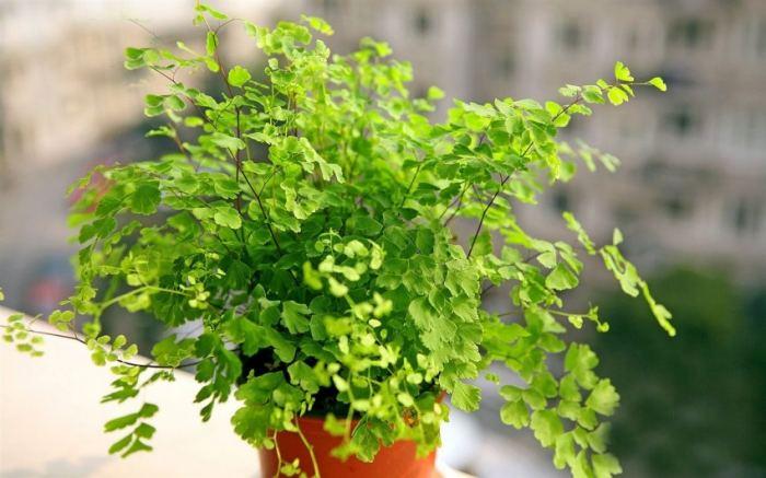 Адиантум нежный комнатные растения