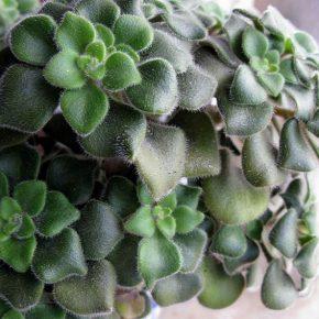 Аихризон: правильный уход, выращивание и пересадка в домашних условиях. Особенности выращивания тропического растения (150 фото)
