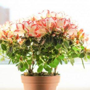 Азалия – особенности ухода и мастер-класс высаживания садового и комнатного вида растения (140 фото)