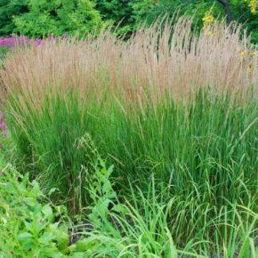 Декоративная трава: применение в ландшафтном дизайне для сада, клумбы и придомового участка. 115 фото и названия растений