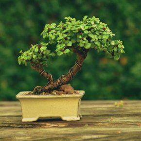 Дерево бонсай – правила применения в дизайне интерьера и идеи по использованию в ландшафтном дизайне (165 фото)