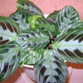 Маранта: выращивание и размножение в домашних условиях. Особенности ухода за комнатным растением (155 фото)