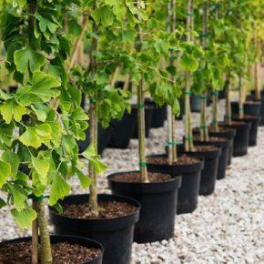 Саженцы деревьев – как правильно выбрать здоровый саженец в питомнике. 105 фото, советы по выбору и посадке