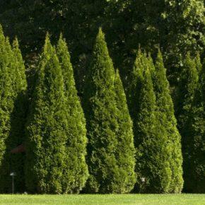 Туя западная: 110 фото видов, сортов и правила по уходу за деревом. Обзор идей применения туи в ландшафтном дизайне