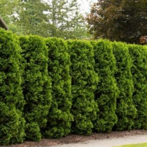 Живая изгородь на участке: выбор и применение растений при создании элемента ландшафтного дизайна (170 фото)