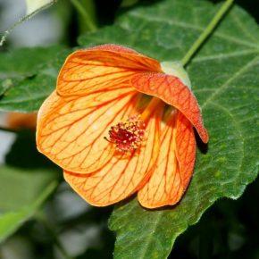 Абутилон – виды, условия выращивания, уход и размножение растения. Посадка в горшок и в открытый грунт (145 фото)