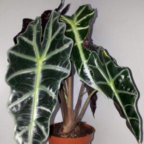 Алоказия: нюансы ухода и особенности выращивания экзотического растения в домашних условиях (125 фото)