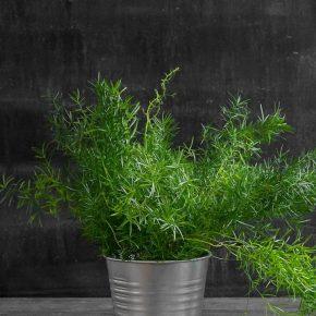 Аспарагус – способы выращивания, особенности ухода, посадки и размножения растения. 115 фото вариантов применения растения в дизайне