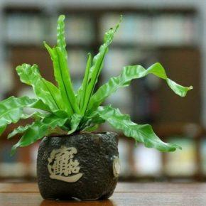 Асплениум: описание разведения и инструкции по уходу за утонченным растением. 120 фото цветка и особенности его выращивания