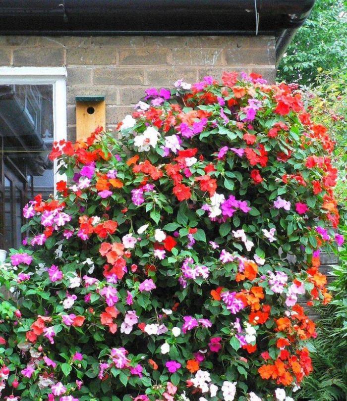 Бальзамин садовый – посадка и уход, фото