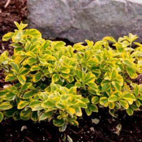 Бересклет: 140 фото разнообразия видов и сортов растения. Использование в ландшафтном дизайне и при украшении сада