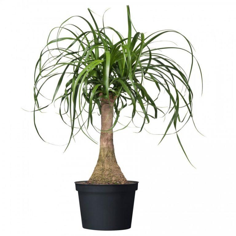 бутылочные комнатные растения картинки самых интересных