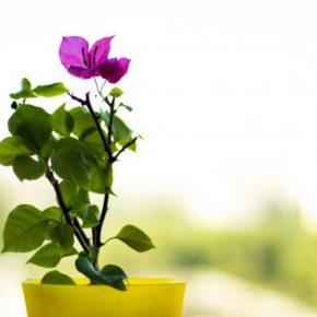 Бугенвиллия: правильное выращивание и советы экспертов по разведению в домашних условиях (135 фото)