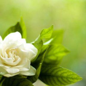Гардения – описание посадки, ухода, разведения и применения. Правила использования цветка в ландшафтном дизайне и в дизайне интерьера