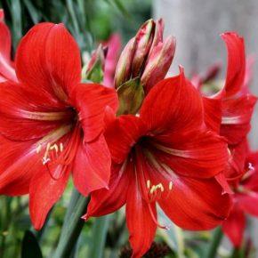 Гиппеаструм: правильный уход, особенности выращивания и правила размножения (145 фото цветка)