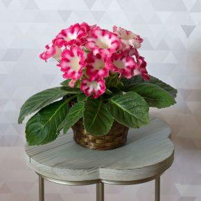 Глоксиния: выращивание и уход в домашних условиях. 165 фото цветка и правила его посадки