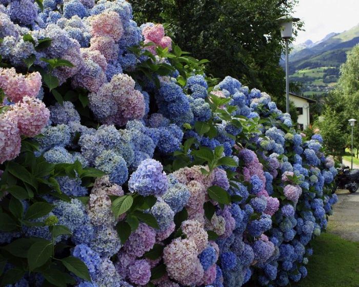Самые неприхотливые и красивые декоративные кустарники для дачи и сада