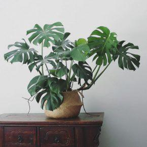 Монстера – 165 фото растения, описание особенностей и правила выращивания цветка в комнатных условиях