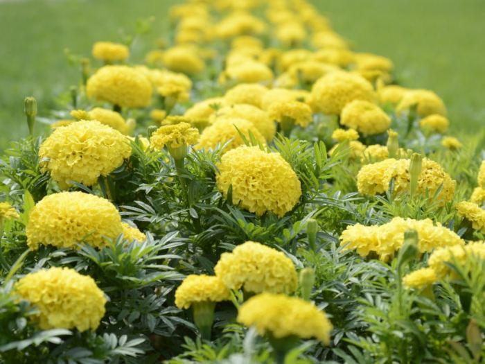 Низкорослые цветы для клумбы на даче цветущие все лето