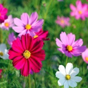 Однолетние цветы: посадка, уход и особенности использования неприхотливых и красивых растений в ландшафтном дизайне (135 фото)