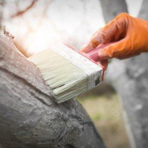 Побелка деревьев: подготовка состава и нанесение на стволы деревьев. 125 фото правильной побелки деревьев