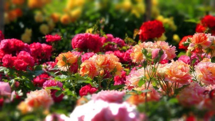 Розы на фасаде дома