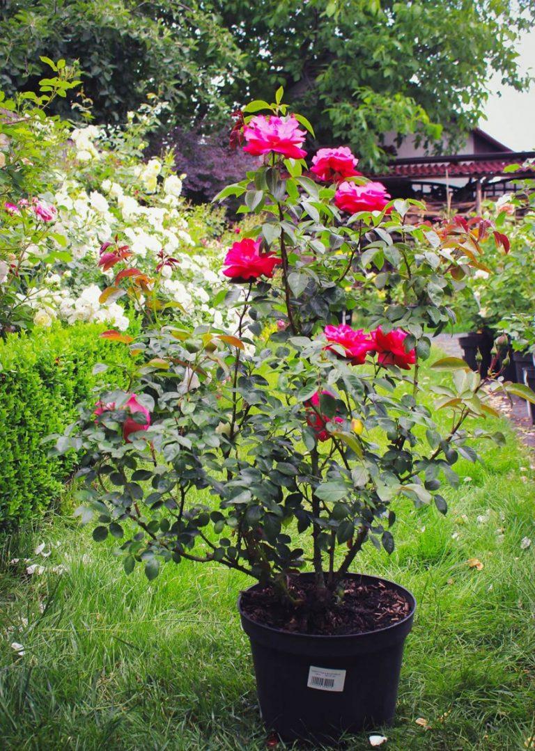 Саженцы роз с доставкой по россии, доставка цветов
