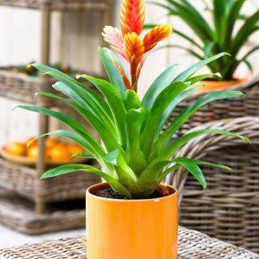 Вриезия: правила ухода и выращивания комнатного цветка. Особенности посадки и размножения вриезии (125 фото)