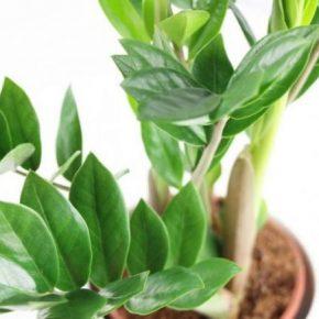 Замиокулькас: 140 фото и видео ухода, выращивания и пересадки растения в домашних условиях